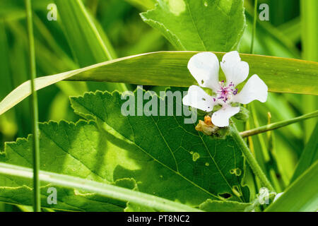 White wild flower of forest mallow - Stock Photo
