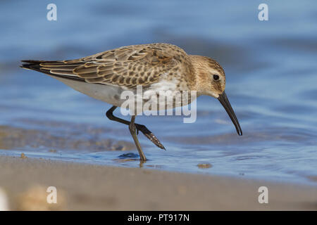 Dunlin (Calidris alpina), first winter individual feeding on the shore - Stock Photo