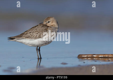 Dunlin (Calidris alpina), first winter individual resting on the shore - Stock Photo