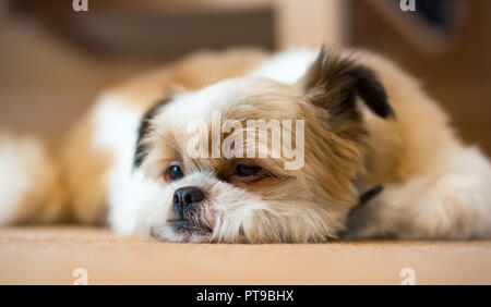 Detailed, front view close up of cute, sleepy Pomeranian Shih Tzu dog, at home, lying inside on carpet, chin on floor, ear humorously cocked. - Stock Photo