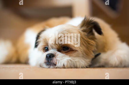 Detailed, landscape close up of cute, sleepy Pomeranian Shih Tzu dog, at home, lying inside on carpet, chin on floor, one ear humorously cocked. - Stock Photo