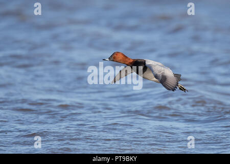 Landscape, close-up side view of lone, wild common pochard drake (Aythya ferina) isolated in flight over water. - Stock Photo
