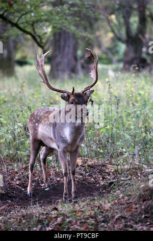 Stag Deer in Phoenix Park Dublin Ireland - Stock Photo