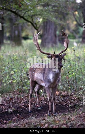 Stag Deer in Phoenix Park Dublin Ireland - Stock Photo