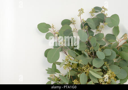 Green leaves eucalyptus populus on white background. flat lay, top view - Stock Photo