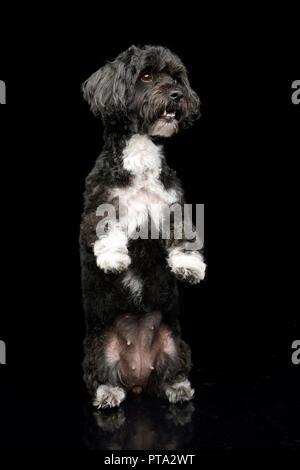 An adorable Havanese dog standing on two legs, studio shot, isolated on black. - Stock Photo