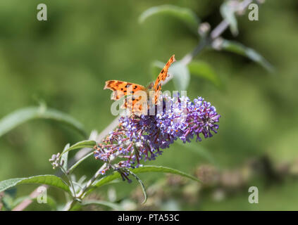 Orange Comma butterfly (Polygonia c-album) resting on a Butterfly Bush (AKA Buddleja or Buddleia) in Autumn in West Sussex, UK. - Stock Photo