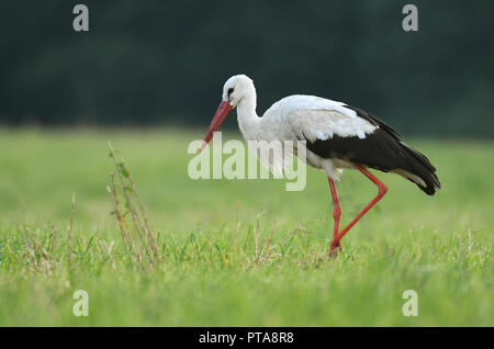 White stork (Ciconia ciconia) hunting on the meadow - Stock Photo