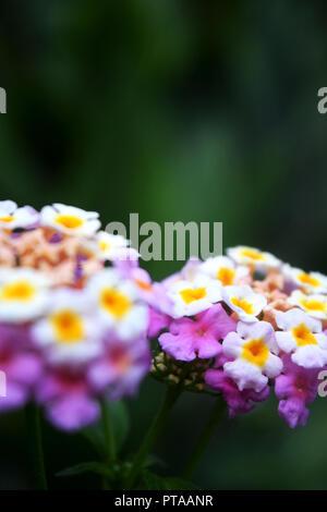 Lantana Camara Landscape - Stock Photo