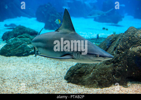 Lisboa, Portugal - March 3, 2014: Shark from Lisbon Oceanarium - Stock Photo