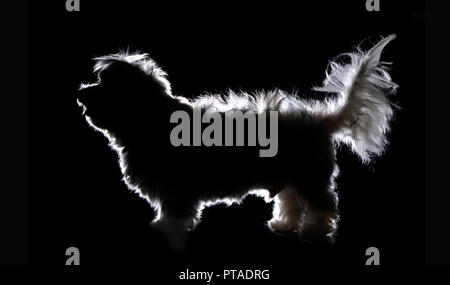 Silhouette of a cute Havanese dog, studio shot, isolated on white. - Stock Photo