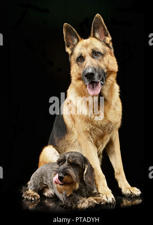 Studio shot of an adorable wire haired Dachshund and a German shepherd dog standing on black background. - Stock Photo