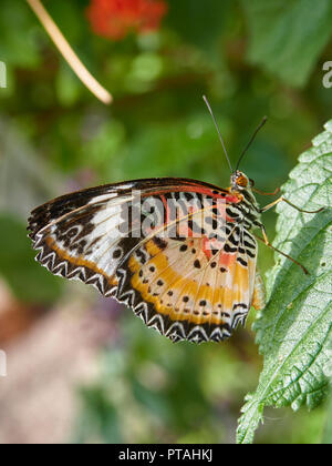 A Diadem Butterfly, Hypolimnas misippus on a leaf in a Butterfly House at St Andrews Botanic Hardens in Fife, Scotland. - Stock Photo