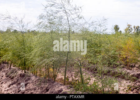 Asparagus plants in a field in Southern Palatinate, Germany - Stock Photo