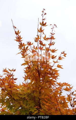 Leaves of an Acer Maple tree beginning to turn red in the autumn - Stock Photo
