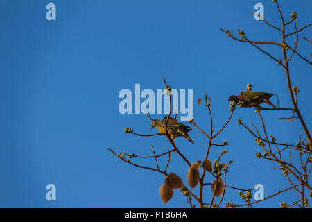Group of Pink-necked Green Pigeon (Treron vernans) birds are perching on leafless and full fruity of Bodhi tree branches. Selective focus - Stock Photo