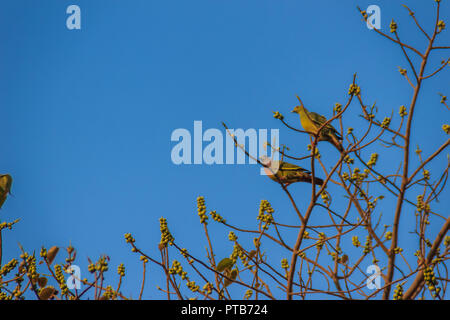Couple of Pink-necked Green Pigeon (Treron vernans) bird is perching on leafless and full fruity of Bodhi tree branches. Selective focus - Stock Photo