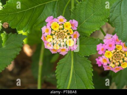 Lantana camara flower, October 2018, Spain - Stock Photo