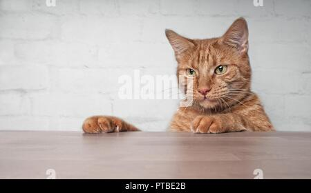 Cute ginger cat looking curious at the table. - Stock Photo