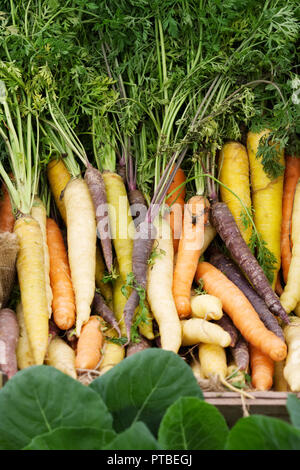 Daucus carota subsp. sativus. Heritage carrots at the RHS Malvern Autumn Show. - Stock Photo