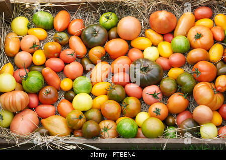Lycopersicon esculentum. Tomatoes on display at RHS Malvern Autumn Show. - Stock Photo
