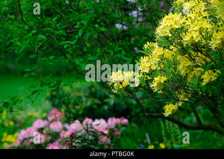 Rhododendron luteum,yellow azalea,honeysuckle azalea,wood,woodland,tree,shrub,shrubs,RM Floral - Stock Photo