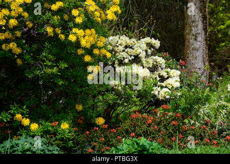 Rhododendron luteum,yellow azalea,honeysuckle azalea,wood,woodland,tree,shrub,shrubs,altamont gardens,corona north,carlow,RM Floral - Stock Photo