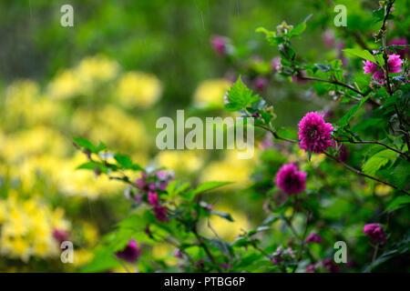rubus spectabilis olympic double,flore pleno,salmonberry,purple-pink,flower,flowers,flowering,thicket forming,shrubs,shrub,spring,flower,flowers,flowe - Stock Photo