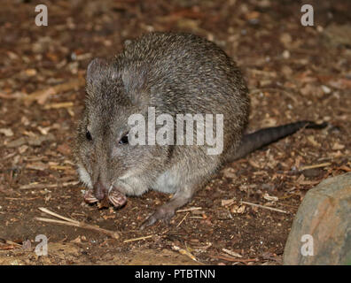 Long-Nosed Potoroo (potorous tridactylus) - Stock Photo