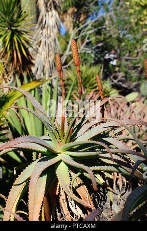 Aloe vera - cactus blossom in Gran Canary Island, Spain - Stock Photo