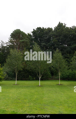 Three 3 young silver birch trees planted on a manicured green grass lawn with woods in the background. - Stock Photo