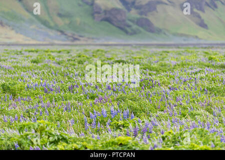 Colorful blue and purple lupine, lupin flowers, green leaves in Iceland with cliff, field meadow pattern of many plants in overcast rainy weather - Stock Photo