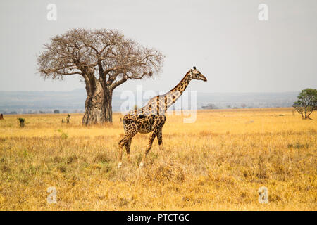 Maasai giraffe with baobab tree in background in the landscape of Serengeti - Stock Photo