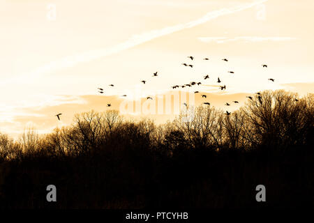 Silhouettes, silhouette of flock, group of Canada geese, goose, ducks flying above bare, dry forest in winter during sunset, sunrise with clouds near  - Stock Photo