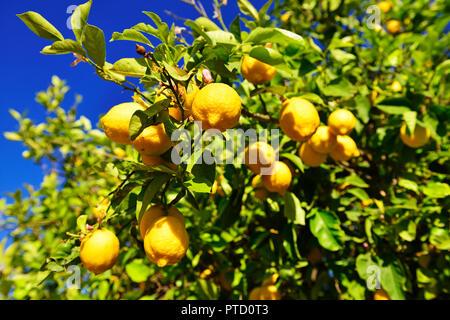 Lemon tree (Citrus × limon) with ripe lemons, near Mirtos, Crete, Greece - Stock Photo