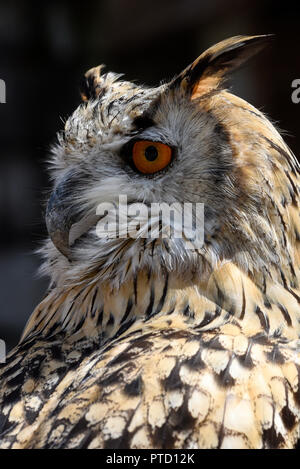 Siberian Eagle Owl (Bubo bubo sibiricus), animal portrait, captive, Switzerland - Stock Photo