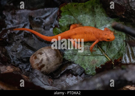 Eastern red-spotted newt in the forest on Hawk Mountain - The Eastern newt aka red spotted newt / orange newt / Notophthalmus viridescens   - walking on wet leaves in a rainy forest. It's bright orange color is indicative of red eft and aposematic coloration and a warning that it secrets a poison from its skin. Hawk Mountain is a mountain ridge, part of the Blue Mountain Ridge in the Appalachian Mountain chain, located in central-eastern Pennsylvania near Reading and Allentown.