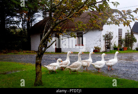 Ardara, County Donegal, Ireland weather. 9th October 2018. A day of strong wind and incessant rain on the north-west coast. Geese enjoy the rain on a farm. Credit: Richard Wayman/Alamy Live News - Stock Photo