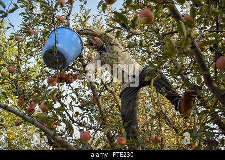 A Man Seen On Top Of A Tree In An Orchard Picking Apples During The
