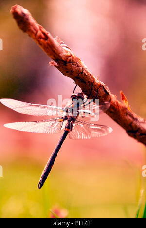 A beautiful dragonfly resting on a brown single branch, with a blurry and artistic background in the colors of pink and green - Stock Photo