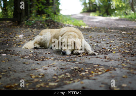 The dog breeds a golden retriever sleeping on the ground in the shade of a tree in the fall - Stock Photo