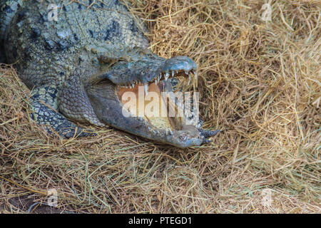 Wild crocodile laying eggs in the straw nest. Alligator is spawning eggs in the straw nest. - Stock Photo
