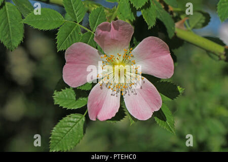 Dog rose or wild rose in bloom in Italy Latin rosa canina and similar to a sweet briar also called eglantine state flower of Iowa and North Dakota - Stock Photo