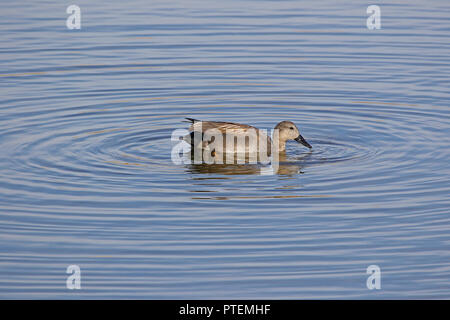 Male gadwall duck Latin name anas strepera family anatidae with grass feeding in water vulnerable status swimming in the Sentina nature reserve - Stock Photo