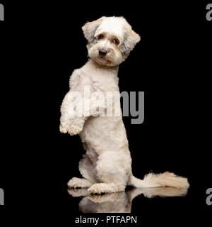 An adorable mixed breed dog standing on two legs - studio shot, isolated on black. - Stock Photo