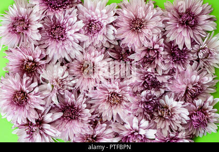 Chrysanthemum carpet isolated on green background. Close up - Stock Photo