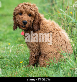 A young cockapoo puppy sitting in garden on a wet day - Stock Photo
