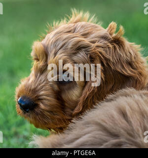 A young cockapoo puppy sitting in garden watching carefully - Stock Photo