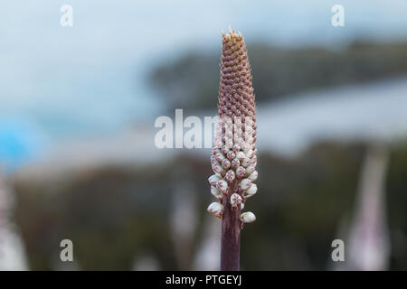 Long stem with many white buds. Wild growing of Ereremus (desert candle) at the island Crete, Greece. - Stock Photo