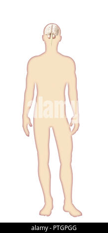 Digital illustration of human body anatomy - Stock Photo